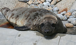 Sahara, our Hooded Seal