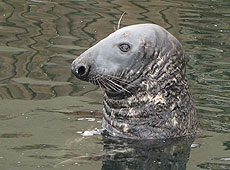 Flipper, our resident Grey Seal