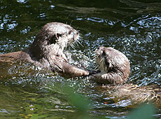 Starsky and Hutch, our Otters