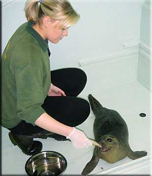 Image of Milo with Kirsty Sopp (Aquarist) in the Seal Rescue Centre