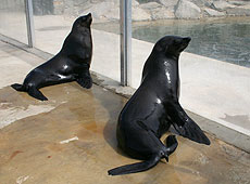 Andy and Chaff, our Fur Seals