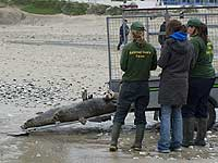 Seals being released back into the wild - Photo was taken by Simon Bone (www.cornishseals.co.uk)