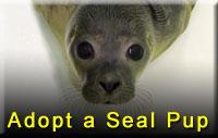 Adopt a Seal Pup