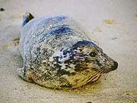 Adult female Grey Seal