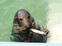 Adult seal in our convalescence pool