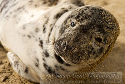 Photo of Celine Dion was taken by Simon Bone of the Cornwall Seal Group