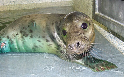 Photo of Cher was taken by Rachael Vine of the Cornish Seal Sanctuary