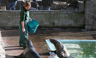 Tamara feeding the grey seals in the convalescent pool