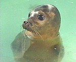 A Common seal pup in one of our pools