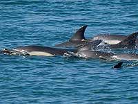 This pod of Dolphins was seen near Customs Quay, Falmouth on 9th June 2008 - Photo copyright of Simon Bone