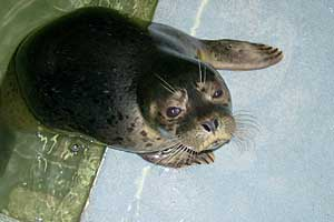 E-Minor, common seal pup - photo taken by Rachael Vine