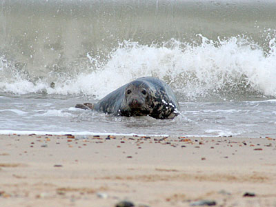 Seal coming ashore