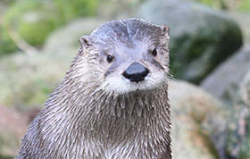 Fingal the AWOL Otter is Recaptured