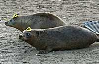 Photo of Ginger and Stoggs - Copyright of Simon Bone.  www.cornishseals.co.uk