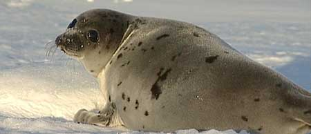 Harp Seal Pup - March 2004 photo by Dr Glenn Boyle