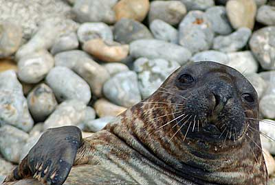 This photo of Sahara, our hooded seal, was taken by Derek Hart during his visit. <BR>Derek Hart said he had a great day at the sanctuary on Sunday 7th September 2008
