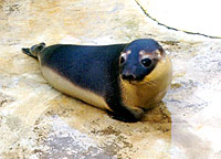 Cleo, a Hooded seal
