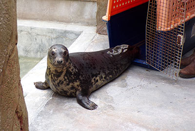 Aayla arrives at her new home - Copyright Cornish Seal Sanctuary