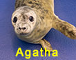 Agatha, a rescued grey seal pup from the 2017/18 season