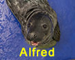 Alfred, a rescued grey seal pup from the 2017/18 season
