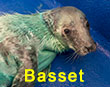 Basset, a rescued grey seal pup from the 2017/18 season