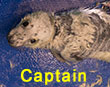 Captain, a rescued grey seal pup from the 2017/18 season