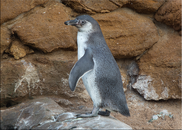 Penguin Chick - photo taken on 26th August 2017