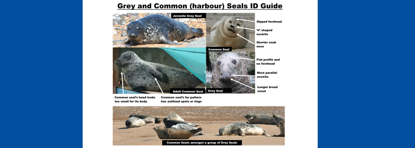 Guide to identifying a common and a grey seal