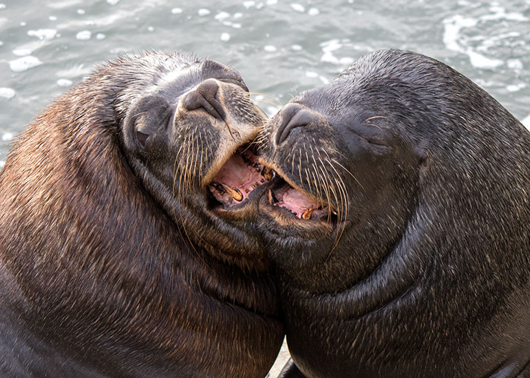 Diego and Noito - Resident Patagonian Sea Lions