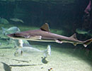 Starry Smooth Hound