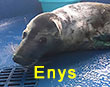 Enys, a rescued grey seal pup from the 2017/18 season