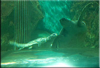 Ernie, Green Sea Turtle