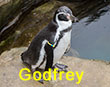 Godfrey - Yellow and Blue Tag - Penguin