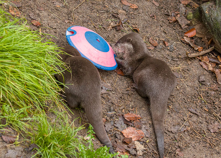 Asian Short-Claw Otters - Harris and Apricot enjoying treats from their enrichment toy