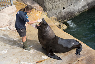 Noito - Patagonian Sea Lion, with Nat, a member of the Animal Care Team