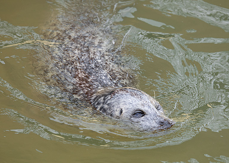 The oldest Common Seal in the World - Babyface