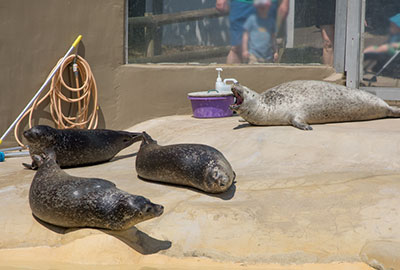 Resident Common Seals - Jarvis, Babyface, Boo and Buddy
