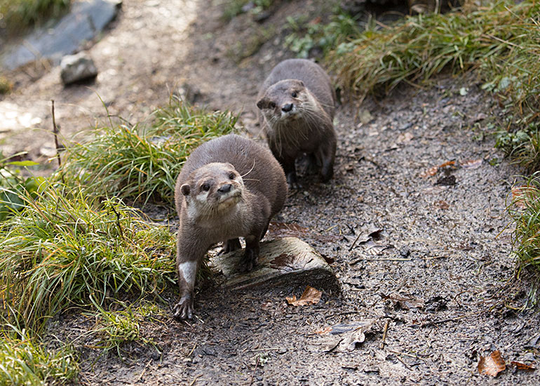 Apricot and Harris - Asian Short-Clawed Otters