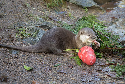 Apricot - Asian Short-Clawed Otters