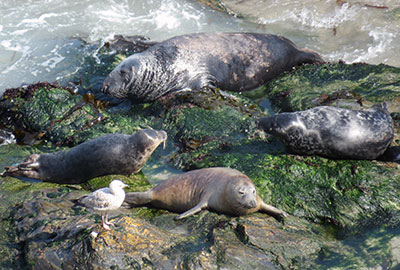 Hex - Photo by Sue Sayer of the Cornwall Seal Group Research Trust