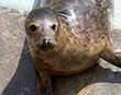 Seal Flown Home After Straying 1,000 Miles Off Course