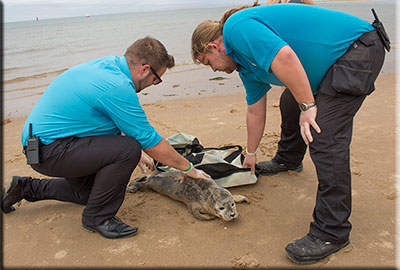 A seal pup being rescued from a busy beach