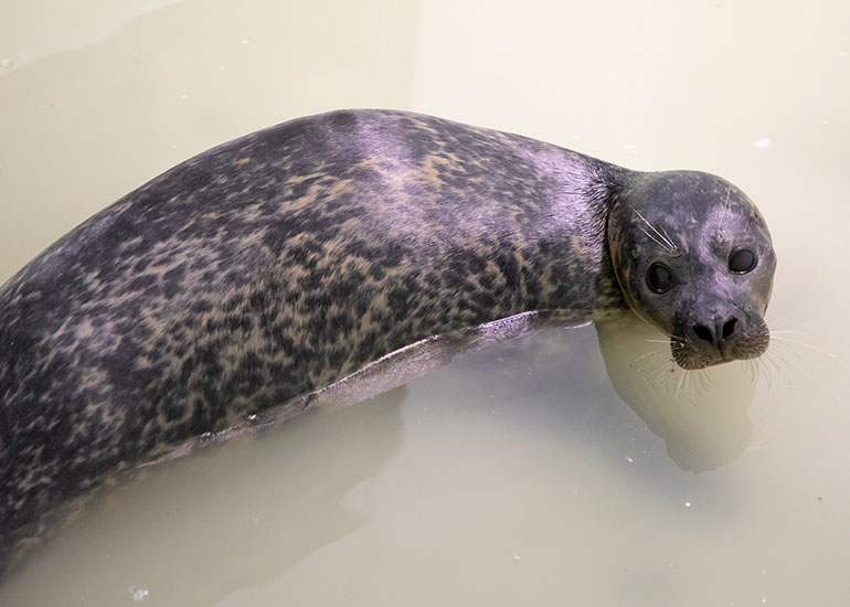 Miley - Resident Common Seal