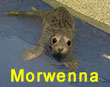 Morwenna, a rescued grey seal pup from the 2017/18 season