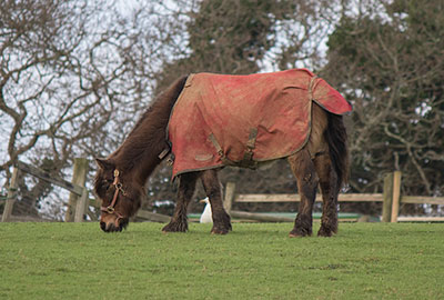 Muffin's with his coat on in the Paddock