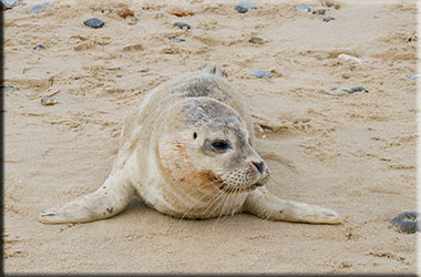 Rescued common seal pup from Mundesley