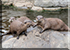 Asian Short-Clawed Otters - Summer and her boys Smarti and Twix