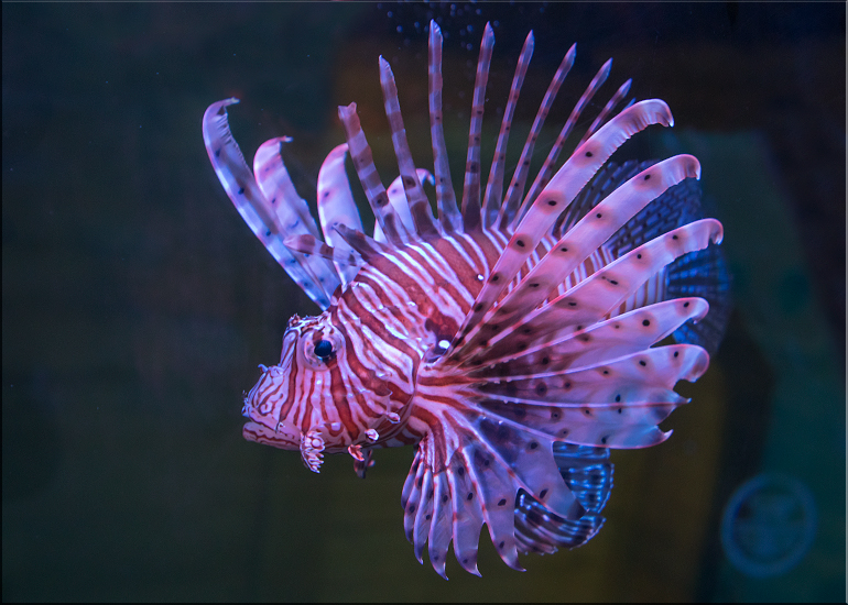 Lionfish are a venomous marine species - so great care must always be taken when transporting them or maintaining their home.