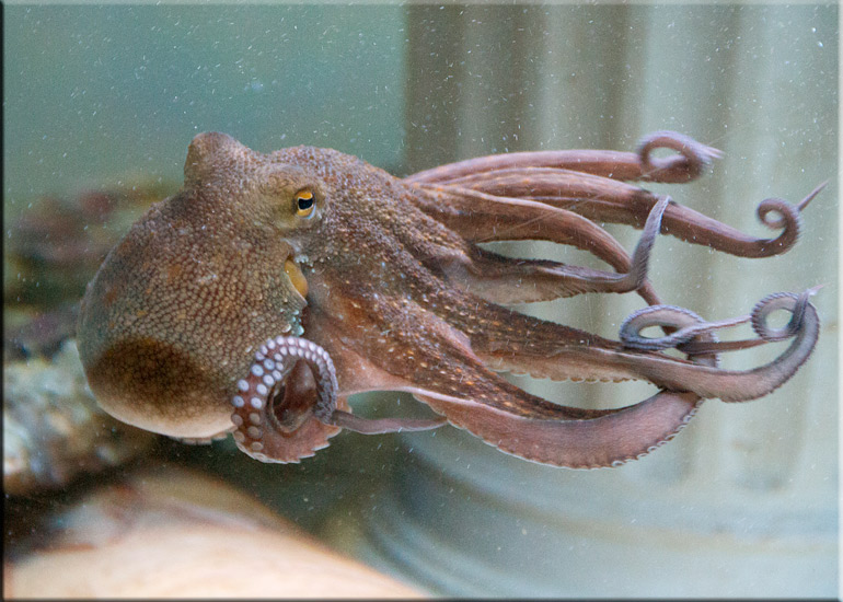 Joan, the Common Octopus