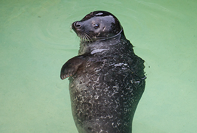 Boo, Resident Common Seal